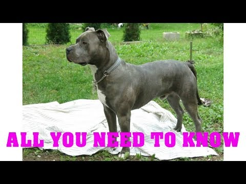 American pitbull terrier dog breed. All breed characteristics and facts about Pitbulls