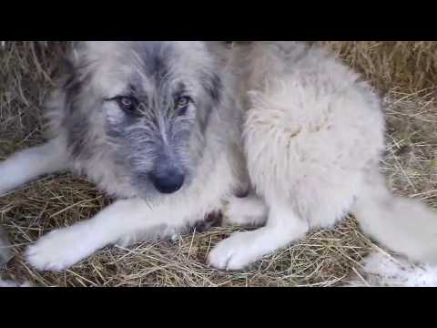Romanian sheepdog of breed Mioritic - video 2016