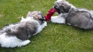 Shih Tzu X Lhasa Apso Brothers Piran And Charlie With My Sock !! 1
