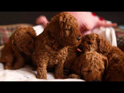 Cavoodle Puppies For Sale Sydney 4 Weeks Old - Cavapoo Puppy Breeder