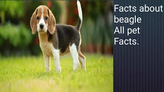 Facts about beagle The Rare dog breed All Pet Facts