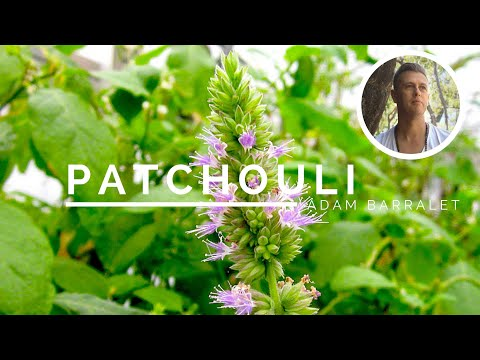 patchouli---the-oil-of-presence-and-solitude