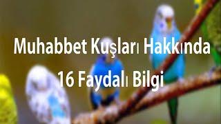 Muhabbet Kuşları Hakkında 16 Faydalı Bilgi