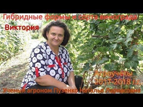Виноград Виктория -  раннего срока созревания (Пузенко Наталья Лариасовна)