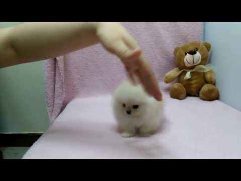 micro-teacup-pomeranian-puppies-for-sale