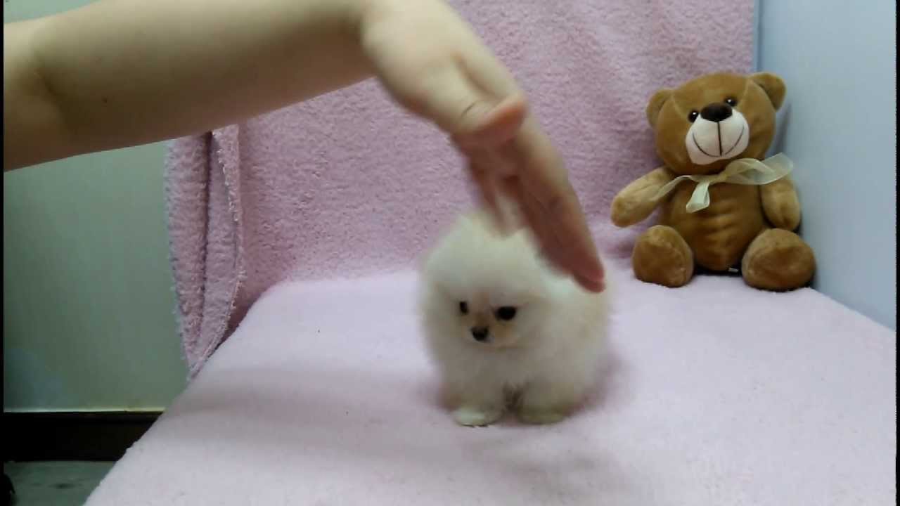 Micro Teacup Pomeranian Puppies For Sale Youtube