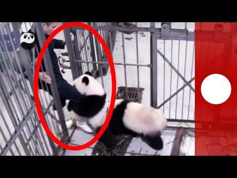 Panda cub gives zoo keeper surprise bear hug