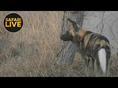safariLIVE - Sunrise Safari - September 11, 2018