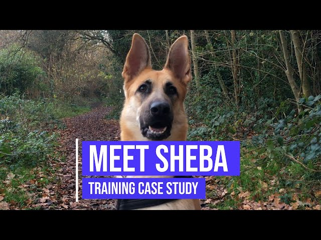 Helping a German Shepherd to stop lunging and improving her obedience skills
