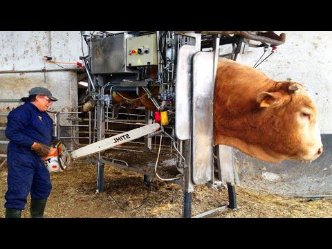 Incredible modern farming milking harvest technology. Amazing automatic cow farming factory