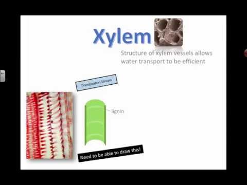 Xylem Vessels (IB Bio) (2015)