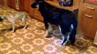 Бежевый укушенный щенок и стерилизованная сучка (животные со стоянки)