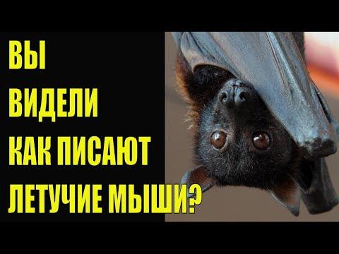 Вы видели как писают летучие мыши? Лучший сборник приколов 2020 Fun Balagan