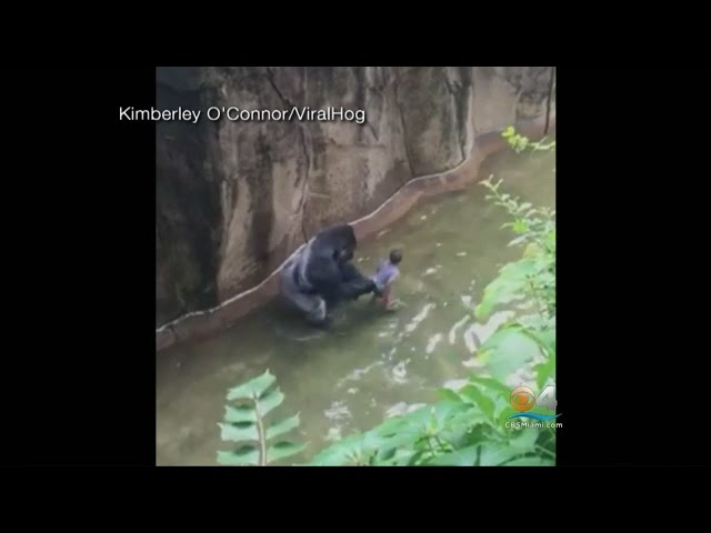 Was Decision To Kill Gorilla Justified? Expert Weighs In