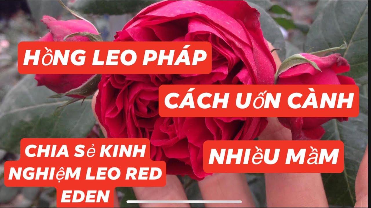 Cách uốn cây leo red Eden nhiều mầm và nhiều ngọn mới(hoa hồng leo có làm tree rose được không ?)