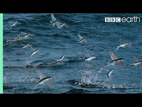 Flying Fish Picked Off From Above And Below - The Hunt - BBC Earth