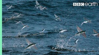 Flying Fish Picked Off From Above And Below - The Hunt - BBC Earth thumbnail