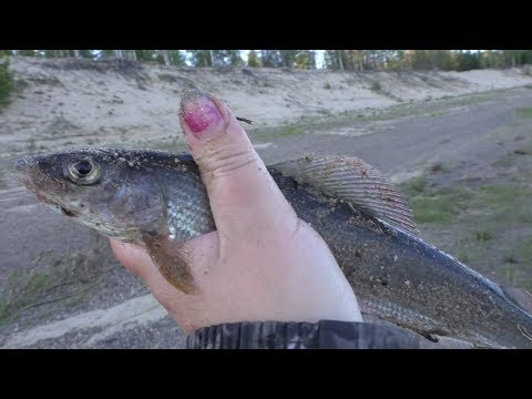 Хорошо отловились по ОКУНЮ и ХАРИУСУ на реке Печора / Рыбалка удалась