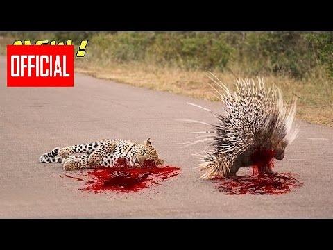 Самое Удивительное Диких Животных Атаки Дикобраз Убивает Питона И Леоп