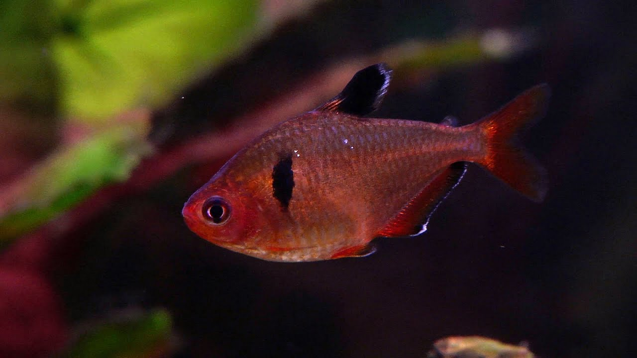 Red phantom tetra, Hyphessobrycon sweglesi