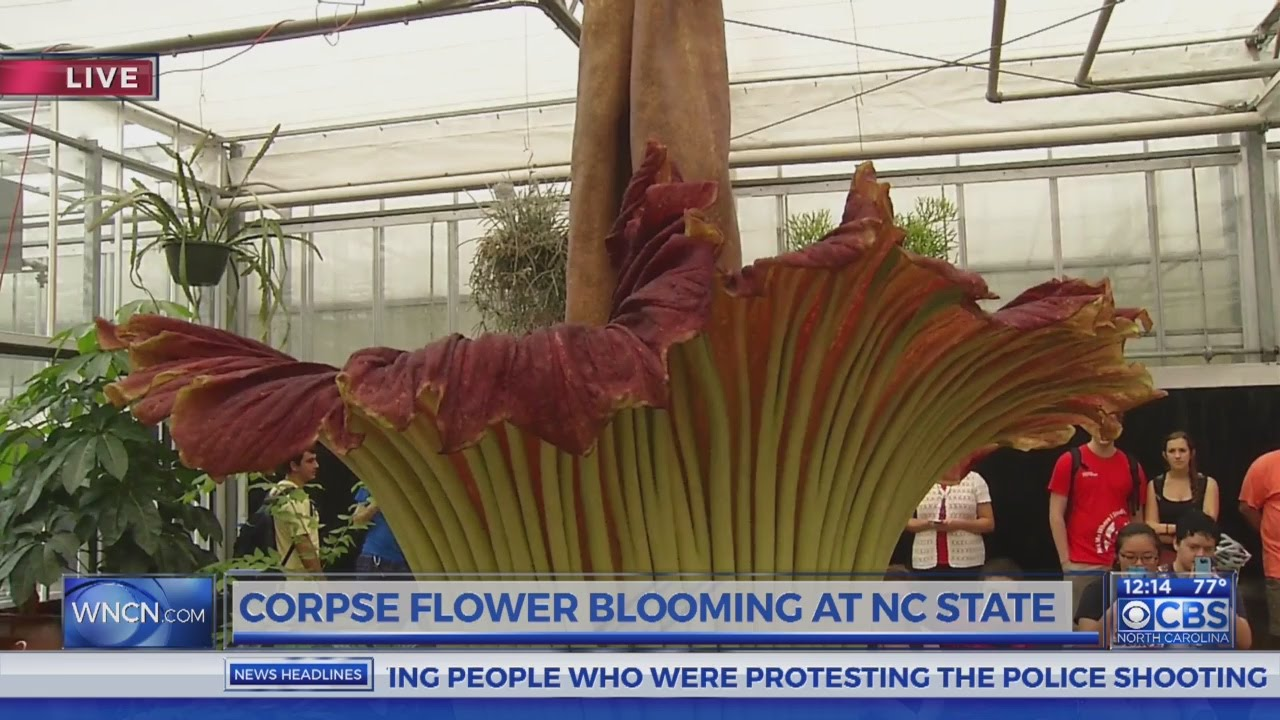 Nc State S Corpse Flower Begins To Bloom Youtube