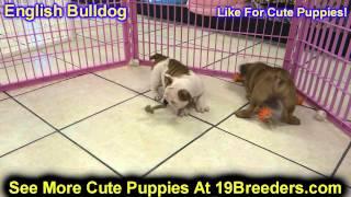 English Bulldog, Puppies, For, Sale, In, Kearney, Nebraska, Ne, Fremont, Hastings
