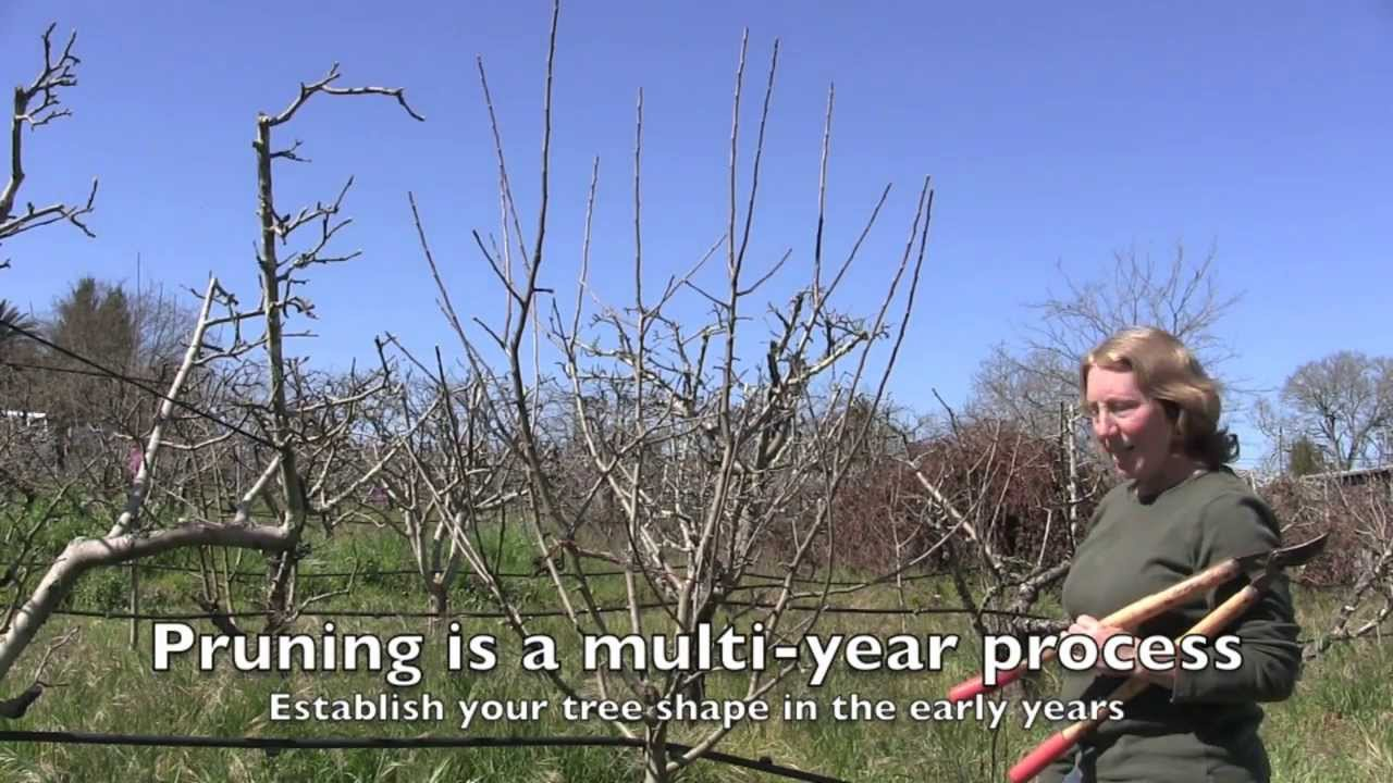 Pruning Apple Trees How And When For Both Old And Young Trees