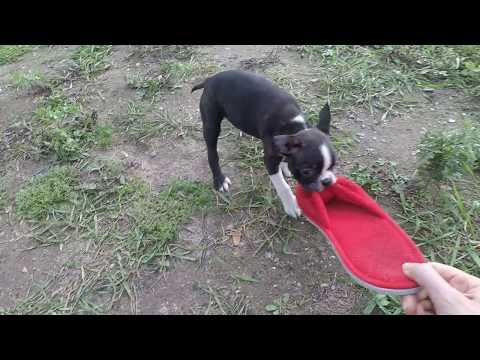 boston-terrier-puppy-running-with-the-shoe