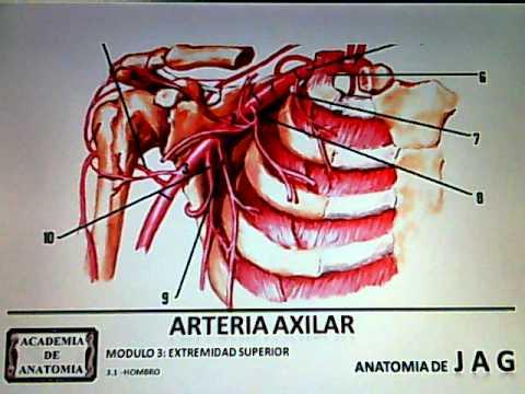 ARTERIA AXILAR - YouTube