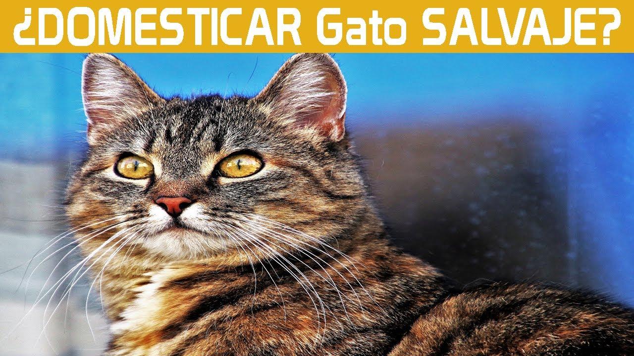 Download 🐱Como DOMESTICAR un gato SALVAJE o CALLEJERO | 4 TRUCOS que debes CONOCER