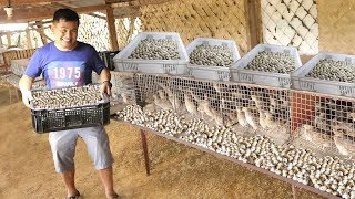 quail farming  producing and collecting thousands of eggs everyday