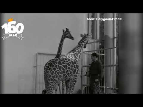 De geschiedenis van Diergaarde Blijdorp: giraffen