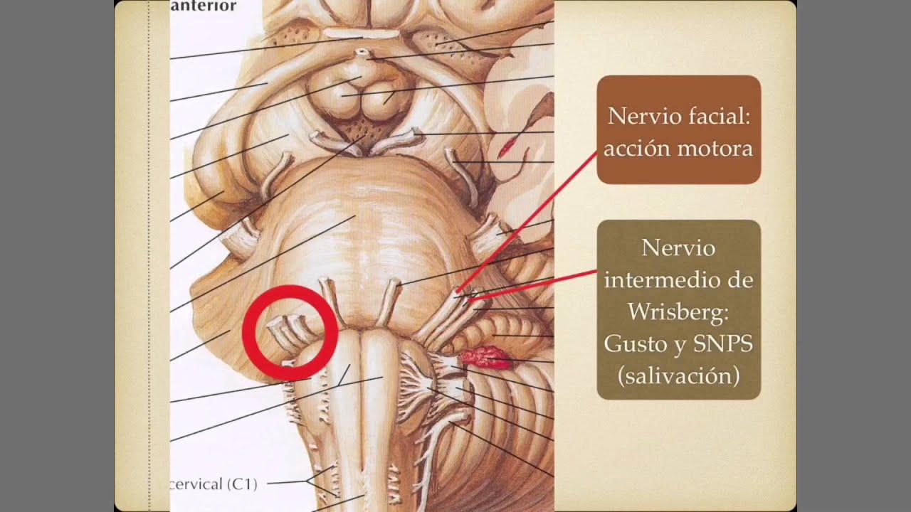 Pares craneales 7: Nervio facial - YouTube