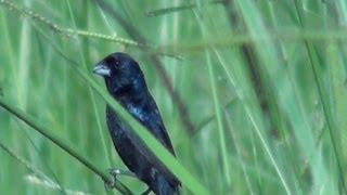 O canto do Tiziu, Volatinia jacarina, semente de brachiaria, Blue-black Grassquit,