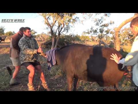Cape Buffalo Darting