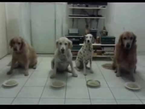 Spaghetti Eating Competition GR Vs GR Vs GR Vs Dalmatian YouTube - Golden retriever obedience competition fail