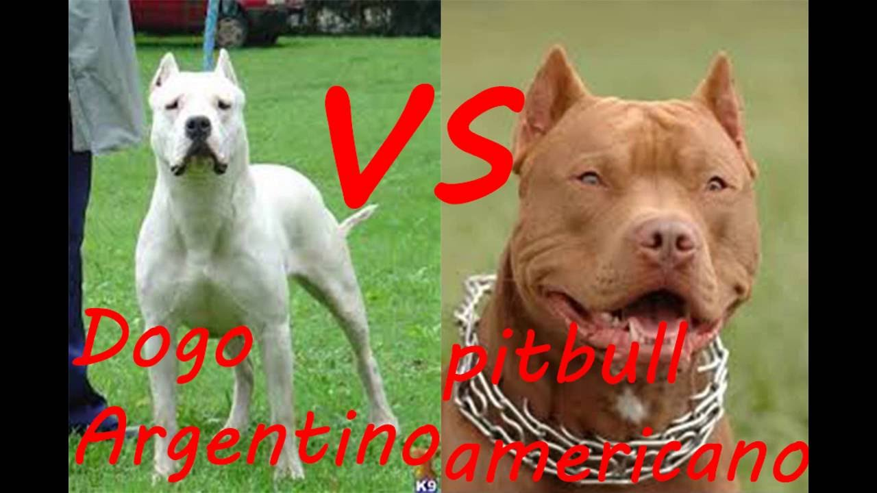 Pitbull vs Dogo Argentino ¿Quien Ganaria? - YouTube