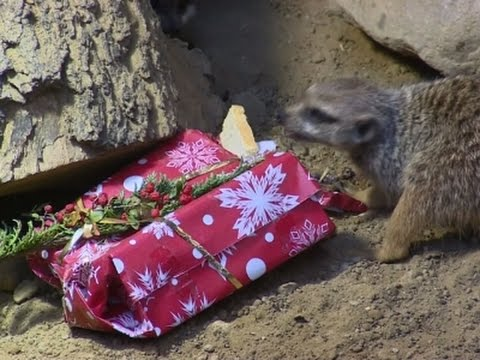 Animals Unwrap Christmas Gifts at Polish Zoo