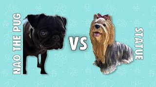 Angry Pug VS Yorkshire Statue | Nao The Pug