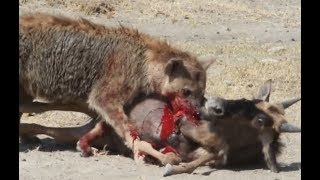 Hienas comem vivo antílope e a zebra! A hiena de consumir a presa dos leões