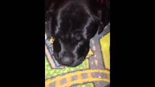 My 15 week old cane corso snoring loudly