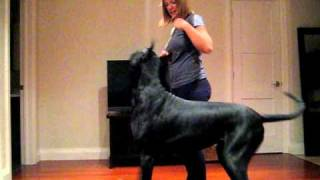Repeat youtube video Scarlett the great dane practices her swing finish.