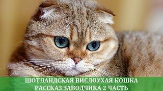 Шотландская вислоухая кошка: рассказ заводчика о породе 2 часть