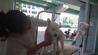 Go,Japanese spitz Neuter.保護犬 日本スピッツのゴウくん。より深く眠...