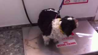 Shihtzu Dogs At Vets-diet Weigh In!