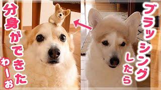 ブラッシングしたらミニコーギー犬ができた! thumbnail