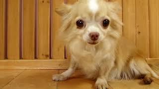 里親募集犬です。詳しくはホームページまで http://www.pets-hop.com/