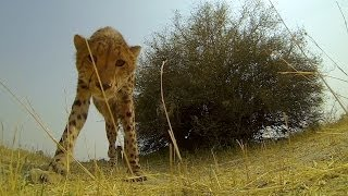 GoPro: Cheetah Licks My GoPro