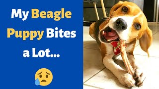 Does your Beagle puppy Bite or Nip a lot? How to stop your Beagle puppy's biting?