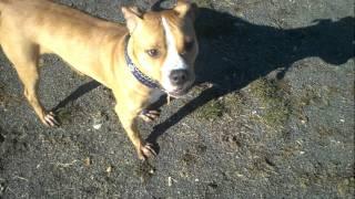 Jeter - American Bulldog / Boxer Mix